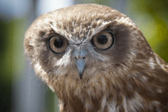 Picture of a wise owl who is in communication with the spirit world
