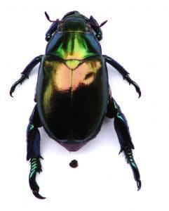 Scarab beetle the bug of synchronicity