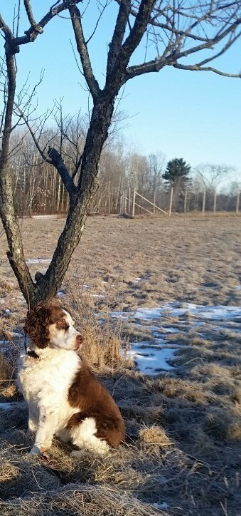 Springer Spaniel waiting to walk in nature