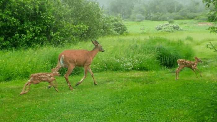 Maine deer and twin fawns